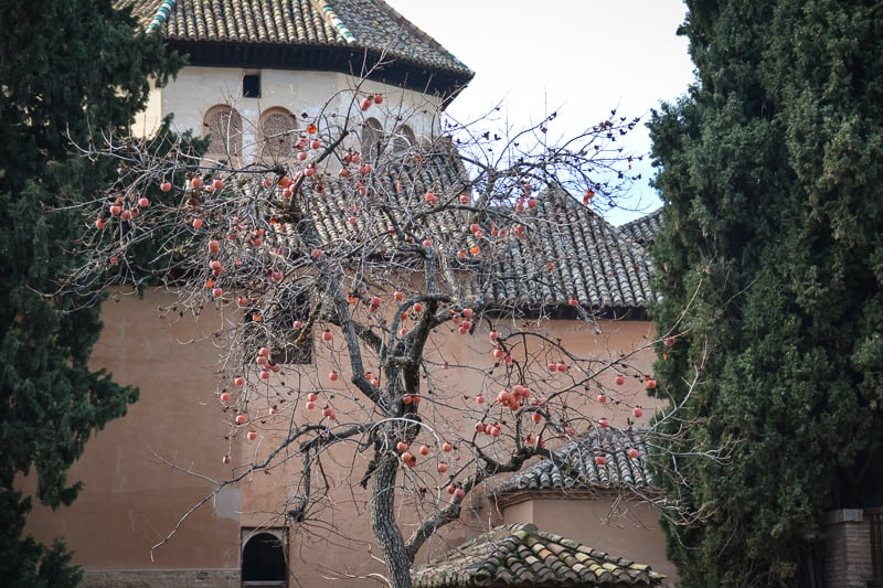 A pomegranate tree at the Alhambra